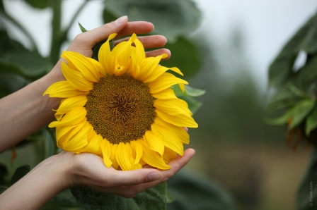 hands cupping sunflower